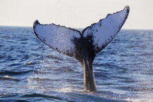 whale fin in cape cod_history of cape cod_cape cod tourism