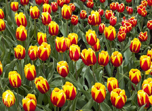 cape cod gardens_images of tulips_