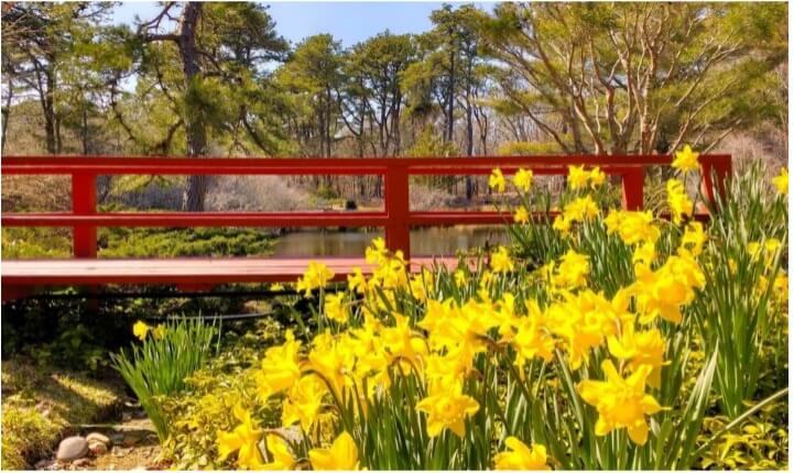 red bridge with field of daffodils_visiting chappaquiddick island_mytoi gardens