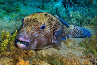 northern pufferfish_cape cod sea life_cape cod animals