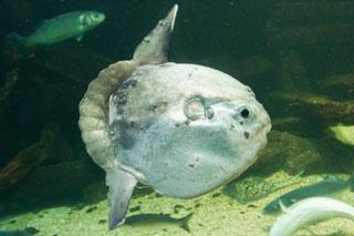 ocean sunfish_what animals live in cape cod massachusetts
