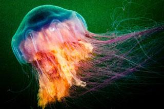 lions mane jellyfish_wildlife in cape cod