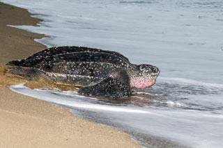 leatherback sea turtle_cape cod sea life