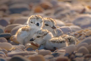 baby piping plover_piping plover cape cod