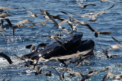 whale and birds in water off cape cod_things to do on cape cod