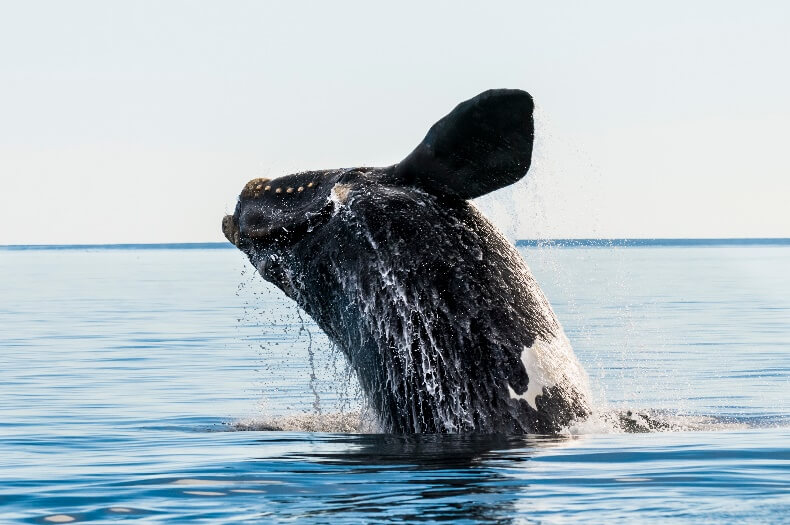 north atlantic right whale sightings
