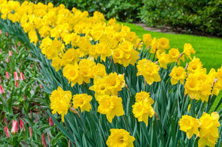 daffodils at the spohr gardens in falmouth ma