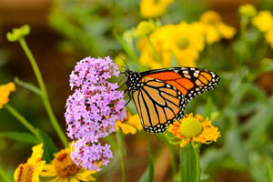 butterfly on a flower at the spohr gardens in falmouth ma