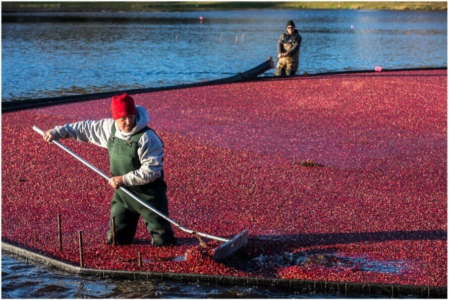 workers harvesting cranberries in cape cod_things to do on cape cod