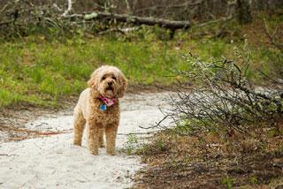 photo of dog on trail near cape cod beach_dog friendly beaches on cape cod_cape cod beaches