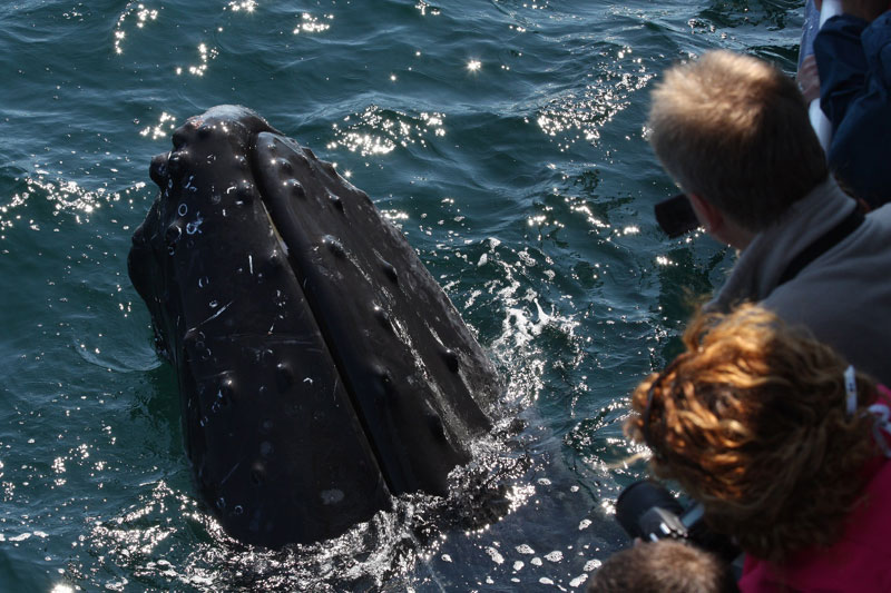 whalewatching on cape cod_cape cod marine life_things to do on cape cod