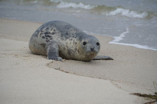 seal on cape cod beach_cape cod marine life_things to do on cape cod