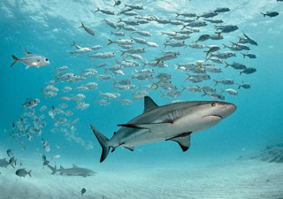 photo of great white shark and smaller fish_great white sharks in cape cod_why are sharks coming to cape cod