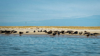 seals on beach in cape cod_sharks and cape cod