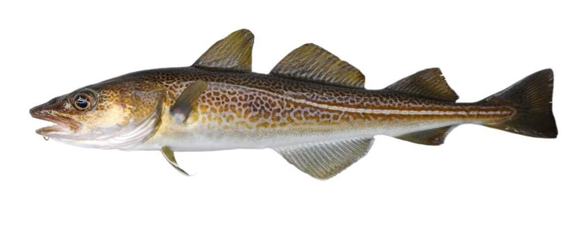 cod_haddock_fishing in cape cod