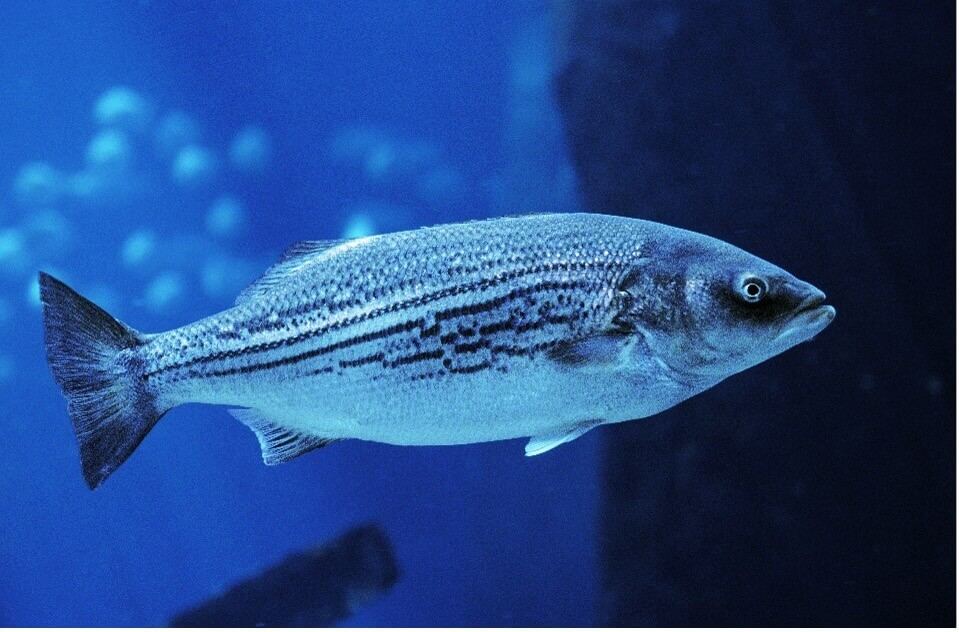 photo of striped bass_fishing in cape cod
