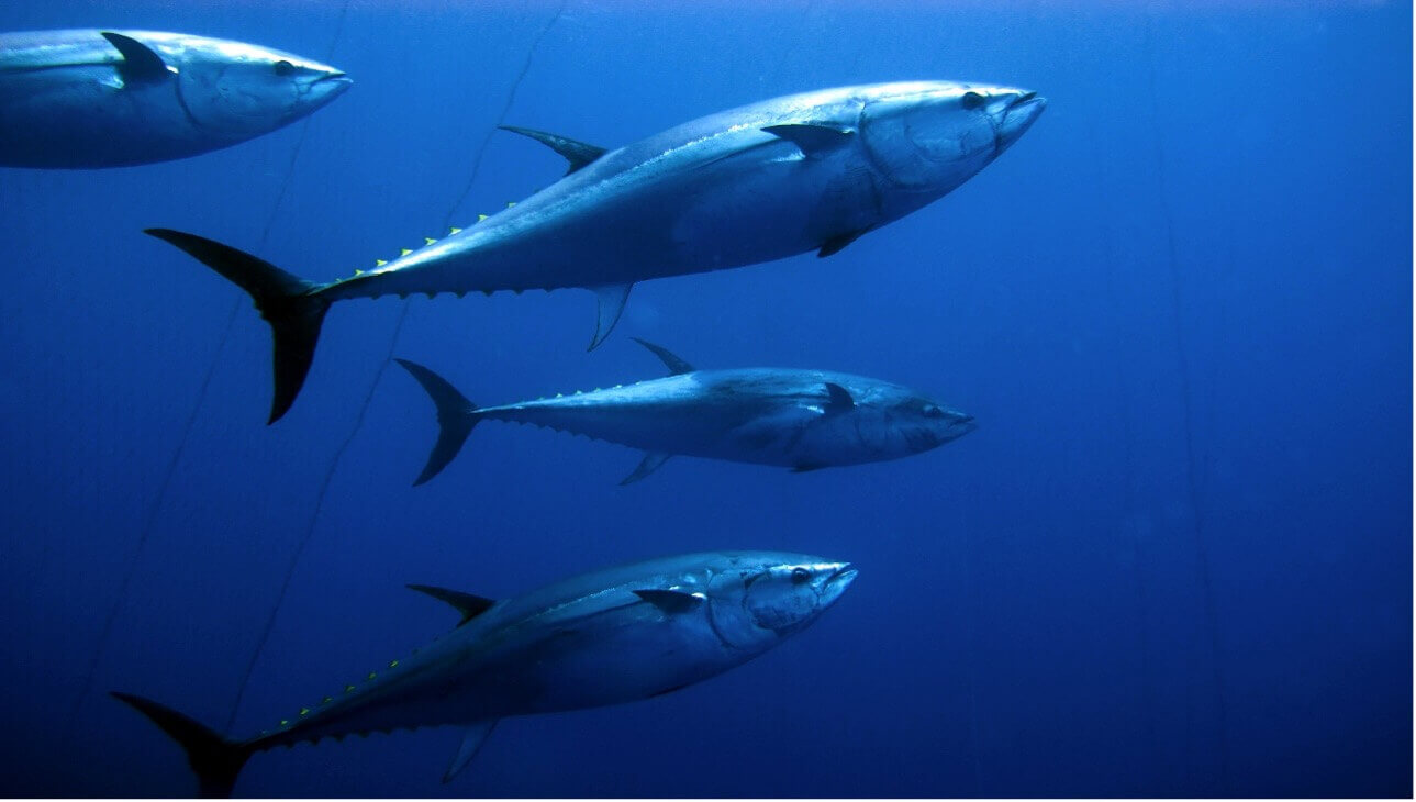 bluefin tuna_fishing in cape cod_things to do on cape cod