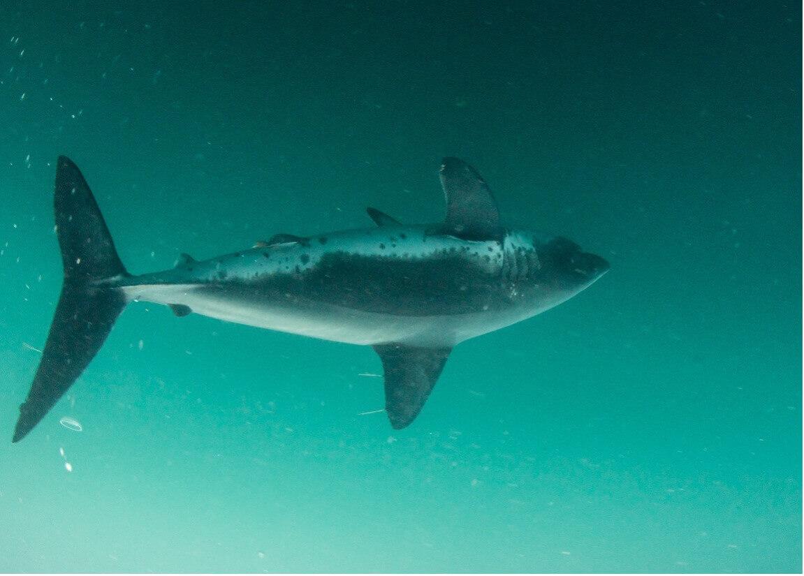 porbeagle shark_fishing in cape cod
