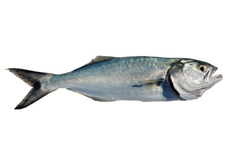 bluefish_fishing in cape cod_things to do on cape cod
