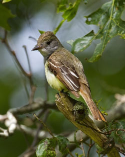 great crested flycatcher yellow breast