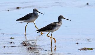 long-legged wading water sandpiper bird