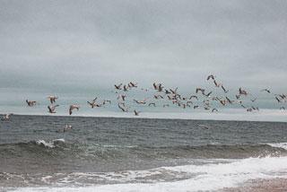 seagull flying race point beach