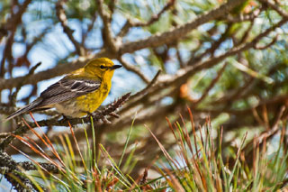 new world warblers tree
