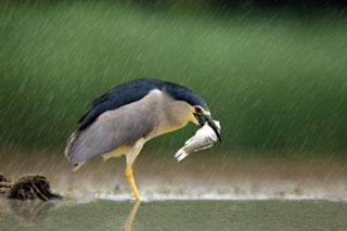 long-legged grey heron fishing