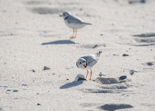 large white-headed plover cape sand