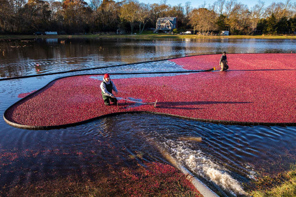 harvesting cranberry in bog_fall activities on cape cod